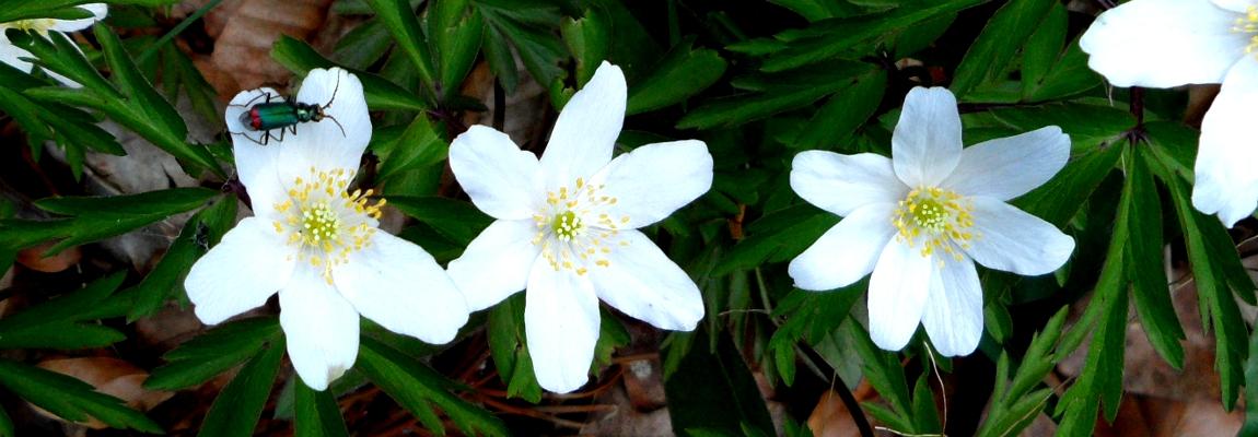 Anémones des bois (<i>Anemone nemorosa</i>)