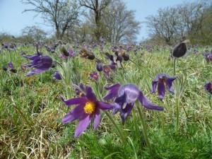 Anémones pulsatilles en fin de floraison